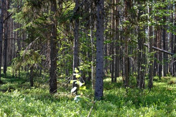 metsä1
